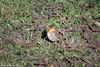 cip cip (conteluigi66) Tags: uccello bird pettirosso prato erba suolo luigiconte