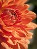 Ca réchauffe ... (Titole) Tags: dahlia flower orange titole nicolefaton petals