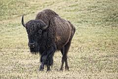 Power walk (Pejasar) Tags: americanbison walk power beast animal mammal large cypressspringsranch texas