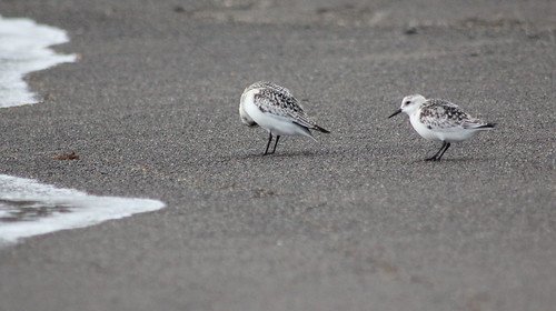 Pair of sanderlings in Azores