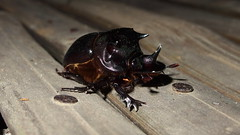 Rhinoceros Beetle (fzlxk) Tags: india majuli island assam inde travel voyage asia asie travelphotography photographiedevoyage bug rhinobeetle rhinocerosbeetle dynastinae scarabbeetle insecte coléoptère corne horne scarabéesrhinocéros night nuit