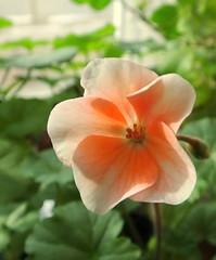 Little Charmer (vtpeacenik) Tags: flower geranium pelargonium dwarf windowsill january vermont
