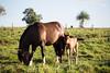 Fohlen und Stute (Sven Vietmeier) Tags: bonito brasil brasilien fohlen matogrossodusul pferde recantoecológicoriodaprata