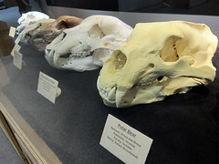 Bear skulls (pr0digie) Tags: southdakota hotsprings mammothsite pleistocene sinkhole mammoth bones excavation skull fossils polar bear bears