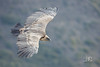 Vautour fauve - Gyps fulvus (El Mirador Los Buitres, Espagne) 31 décembre 2016 (ÇhґḯṧtÖphε) Tags: 1800s 500mm 800iso accipitridés accipitriformes aragon canon espagne españa f56 griffonvulture gypsfulvus pyrenées vautourfauve vautourfauvegypsfulvus bird oiseau