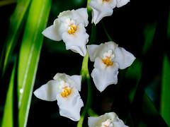 Cuitlauzina egertonii (Eerika Schulz) Tags: cuitlauzina egertonii hannover berggarten herrenhäuser gärten garten eerika schulz