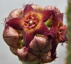 Caralluma hexagona (A Botanical Wonderland (Million+ views)) Tags: caralluma hexagona asclepiadaceae botanical wonderland stapelia orbea huernia succulent cactus nature