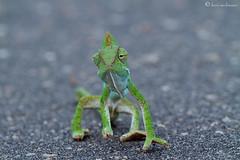 Dangerous crossing (leendert3) Tags: chameleon ngc coth5 npc sunrays5 krugernationalpark southafrica wildlife nature leonmolenaar