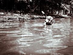 Our Little Swimmer (Wade Brooks) Tags: beauty fallslake kayak may sandi swim water beagle bw