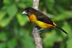 Ramphocelus flammigerus (Wilmer Quiceno) Tags: ramphocelusflammigerus flamerumpedtanager toche tangara thraupidae hoteltinamu manizales aves birds birding