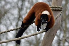Red-Ruffed Lemur (Bri_J) Tags: tropicalbutterflyhouse northanston sheffield southyorkshire uk butterflyhouse nikon d7200 yorkshire redruffedlemur lemur vareciarubra zoo sigma150600mm