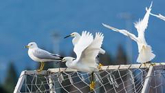 snowyegret seagull shorelinepark paloalto california unitedstates us