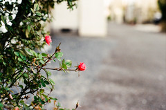 Red flower bloomed (yasu19_67) Tags: red flower bloomed film filmism filmphotography analog atmosphere photooftheday leica summicron50mmf2 50mm bokeh fujifilm fujicolor c200 osaka japan
