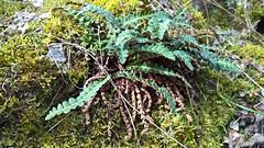 Braunstieliger Streifenfarn [Asplenium trichómanes] , NGIDn1029415332