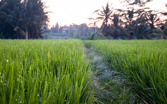 Ricefield Morning (Oliver J Davis Photography (ollygringo)) Tags: bali rice field morning ubud indonesia farming travel palm trees frost dew nikon d90 island tropical tropics exotic green light dawn path trail frosty weather new day bright sky warm