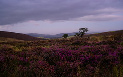 Hawkcombe Head Dusk, Exmoor, UK (tog@goldenhour) Tags: hawkcombehead exmoor nationalpark dusk bluehour heather moorland unspoiled sonya7r toggoldenhour landscape le longexposure lowlight wildflower