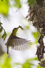 _MG_8473.jpg (xentinel2) Tags: serangoonisland birds olivebackedsunbird coneyisland