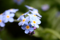 Dreaming forget-me-nots I