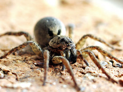 The Spider - Reloaded! (young_einstein) Tags: macro nature closeup canon spider dof g6 reprocessed