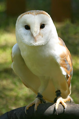 Barney the Barn Owl (Geoff Penn) Tags: bird eye barn flickrbadge hove wing beak feather claw raptor owl hunter eastsussex barnowl birdofprey wildanimals featheryfriday hovepark