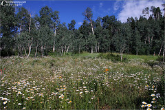 Alpine Meadow (Tommy Simms) Tags: flowers summer usa mountain mountains flower art 20d nature floral canon landscape ilovenature rockies outdoors colorado blossom silverton canon20d blossoms meadow bluesky canoneos20d bloom rockymountains blooms canoneos durango fourcorners alpenglow naturescenes alpinemeadow sanjuancounty tommysimms silvertoncolorado 4857 theworldthroughmyeyes copyrightwwwtommysimmscom