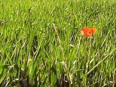 Única. (ARIadna!!!) Tags: red flower verde grass lafotodelasemana rojo flor hierba eligetucolor lfsespacionegativo lfstexturas