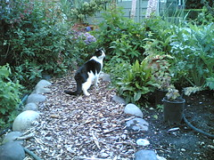 Charlie (cornfusion) Tags: cameraphone seattle cats garden 2006 6630 westseattle nokia6630