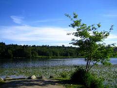 Lone Tree at Deer Lake (*Sherry*) Tags: blue sky lake canada tree green nature scenery burnaby deerlake deerlakepark theworldthroughmyeyes sherryli sherryxjli sherryliphoto