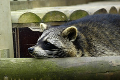racoon1 (bea2108) Tags: animal animals zoo racoon osnabrck racoons