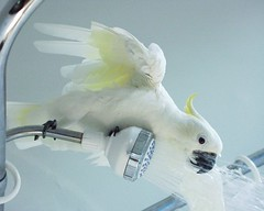 shower dough (SendakSeuss) Tags: bird shower sidebar parrot chloe cockatoo featheryfriday