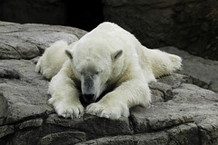 Just chillin' (ucumari) Tags: bear nature animal june mammal zoo nc nikon wildlife north d70s northcarolina 2006 nikond70s polarbear carolina polar nczoo asheboro northcarolinazoo asheboronc june2006 ucumari bearawarenessweek ucumariphotos ucumariphotography asheboronorthcarolina