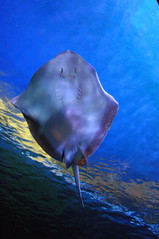Sting Ray Smiling Back (thnkfst) Tags: blue beautiful smile ilovenature stingray vancouveraquarium pick10 saveme1 iloveit specanimal