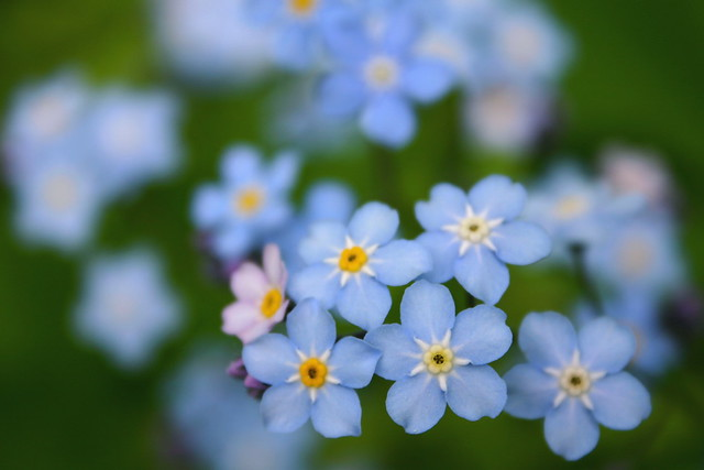 Photo: Wood Forget-me-not