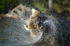 Brown bear shaking water off (randy_harris) Tags: bear water alaska action bears brooksfalls grizzlybears brownbears brookscamp