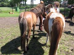 Nice Bottoms! (Steven M Schultz) Tags: horses horse netherlands pony pferde stallion drenthe dun paarden icelandic fokker foal hengst fohlen icelandichorse ijslander icelandichorses tölt dropi videlin islandpferd köppel vidalin