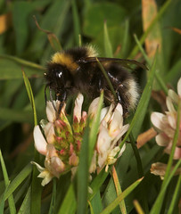 "Bumble Bee (bombus hortorum) • <a style=""font-size:0.8em;"" href=""http://www.flickr.com/photos/57024565@N00/167573809/"" target=""_blank"">View on Flickr</a>"