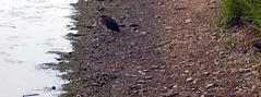 green heron (yakfur) Tags: bird shore greenheron lakefrank