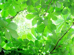 faded memory: sunlight through green leaves (motocchio) Tags: tree green leaves germany relaxing 2006 refreshing osnabrck earlysummer  equalization fadedmemory