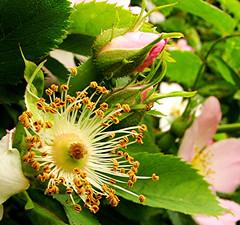 Tomorrow and tomorrow and tomorrow ... (Lynn Morag) Tags: flower rose shakespeare lynn bud tomorrow dogrose lynnmorag williamshakespeare june2006 99wordstime allrightsreserved