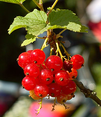 bright red currants in the garden