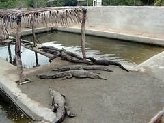 Manglares de Tumbes (Jose Alarco) Tags: peru cocodrilos tumbes