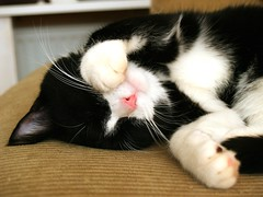 Oh my, are you calling ME cute?? (Dr. Hemmert) Tags: pet cats pets cute cat kitten kat chat kitty whiskers tuxedo gato paws artemis mycat cutecat blackmasked