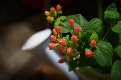 little candy (yocca) Tags: flower green june flora 2006 wateringpot