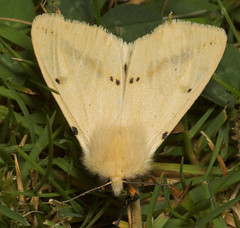 "Buff Ermine Moth (Spilosoma lutea) • <a style=""font-size:0.8em;"" href=""http://www.flickr.com/photos/57024565@N00/179071498/"" target=""_blank"">View on Flickr</a>"