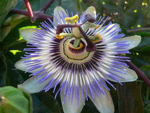 Passiflora - immagine tratta dal web (Flickr by B Mully)