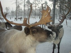 Winter deers' camp (ugraland) Tags: travel russia north tribal siberia ethnic indigenous mansi ugra khanty yugra
