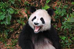 Grrrrrrr (Pat Rioux) Tags: china bear panda chengdu sichuan