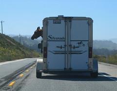 Horses Happy. (doneastwest) Tags: horse one highwayone highway highway1 coastalhighway horsetrailer coasthighway