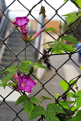 Chained Blossoms ('SeraphimC) Tags: pink flowers green up leaves fence 350d petals blossoms stamens chain link growing blooms rebelxt dslr sepals bokehsonicejuly bokehsonicejuly09