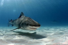 Tiger Shark 2 (Andi Voeltz) Tags: canon shark underwater scubadiving sharks fins dpg underwaterphotography underwaterphoto tigershark wetpixel galeocerdocuvier digideep ultimateanimalphotography hugyfot andivoeltz